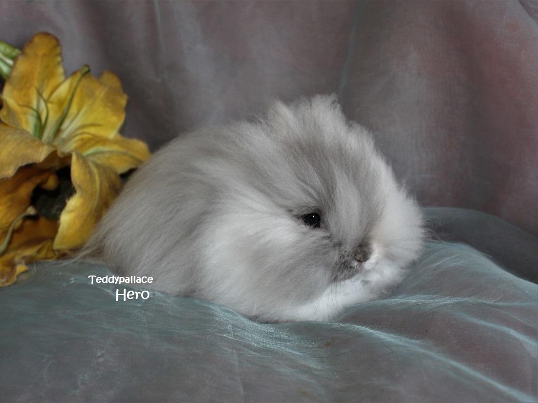 Teddy dwerg Hero
